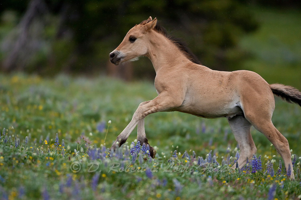 Wild horse or mustang, foal running through wildflowers in Montana