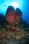 A pair of barrel sponges on the reef wall near Terneffe Atoll, Belize.