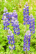 Closeup of Nootka Lupine (Lupinus nootkatensis) on Kodiak Island in Southwestern Alaska. Summer. Afternoon.