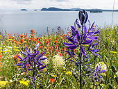 Washington Islands: Lummi, Vendovi