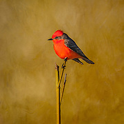 Male Vermilion Flycatcher; Pyrocephalus rubinus; perched on branch in Laredo, Texas in spring.
