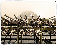 Drying cod heads, Lofoten, Norway