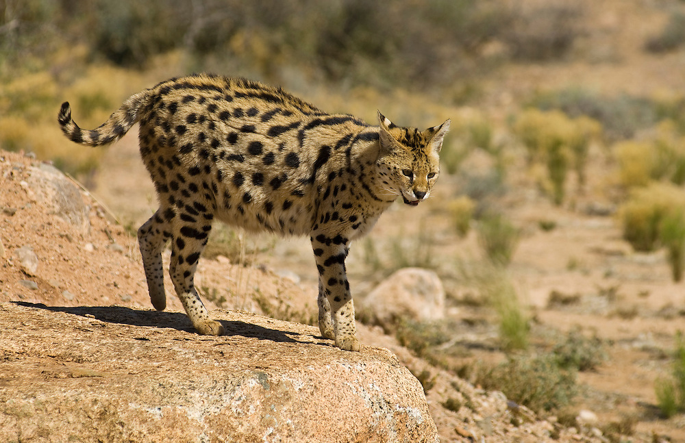 Where To Get A Serval Cat