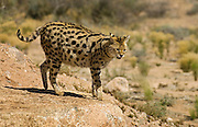 A Serval at Out Of Africa Wildlife Park near Sedona, Arizona; a wild cat native to the African savanna.