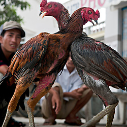 Vietnam | Lifestyle, tradition | Rooster fight