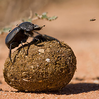 South Africa, Kgalagadi Transfrontier Park, Dung Beetle standing on top of rolling ball of fresh dung in Kalahari Desert