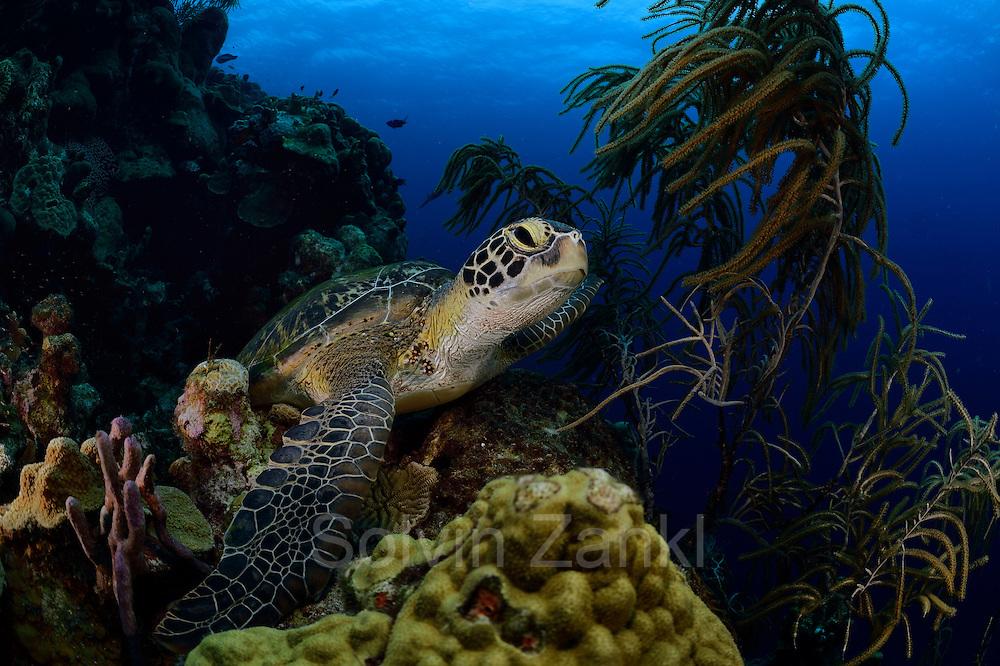 Sleeping or resting Green sea turtle (Chelonia mydas) | Ruhende oder schlafende Grüne Meeresschildkröte (Chelonia mydas) an ihrem Ruheplatz. Sie kehren zum Schlafen oft an die gleichen Stellen zurück. Manche Bereiche im Riff sind dadurch regelrecht freigescheuert.