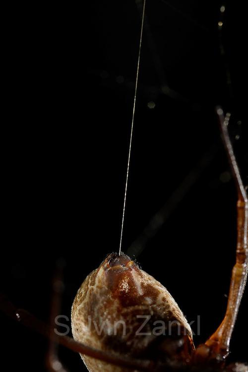 weibliche Goldene Radnetzspinne (Nephila clavipes) mit Seidenfaden