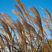 Botanicals: Grasses