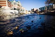 Ducks float on the Truckee River through Reno, NV, December 2, 2009.