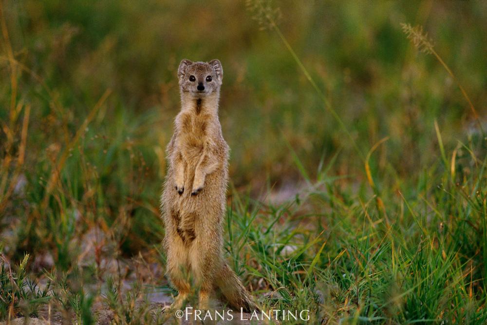 Yellow mongoose standing alert, Cynictis penicillata, Makgadikgadi Pans, Botswana