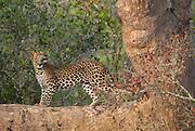 Female Leopard Cub on tree in Yala, Sri Lanka