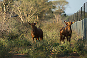Golden wildebeest<br /> Exotic Game Breeders / Eden Farm<br /> Limpopo Province<br /> South Africa
