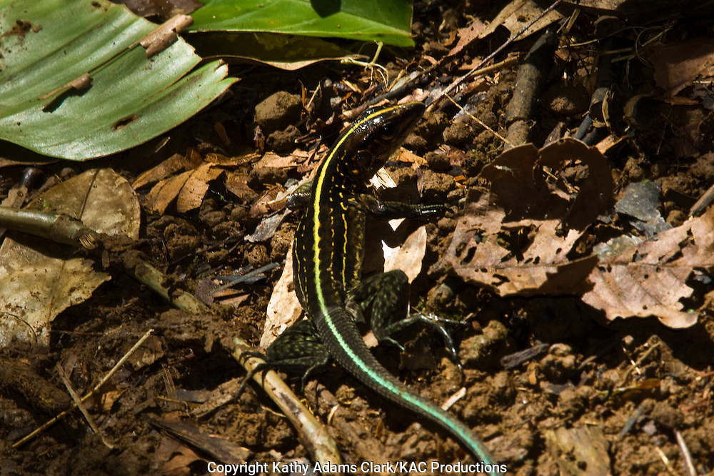 Whip-tailed lizard on the ground, La Selva Biological Station, near Sarapiqui, Costa Rica. Organization for Tropical Studies center.