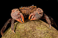 A close-up of a freswater crab on a rock