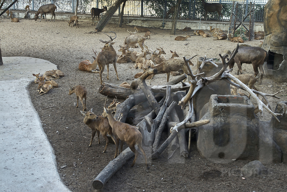 Deers in captivity at Saigon Zoo and Botanical Garden, Ho Chi Minh city, Vietnam, Southeast Asia