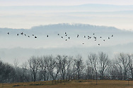 Mount Hope, New York - A flock of Canada geese flies over a farm field on a foggy morning on  Nov. 26, 2015.