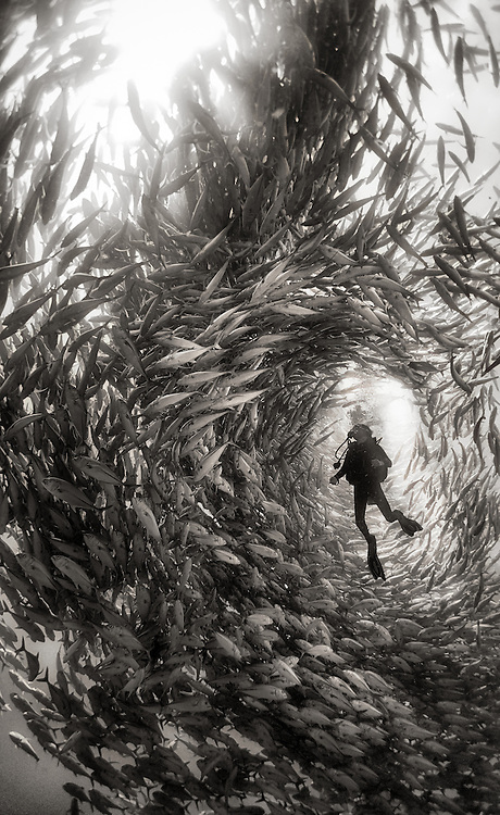 Andrea overwhelmed and surrounded by a swarm of silver jack fish during an exploration dive in Cabo Pulmo National Park, Mexico. <br /> <br /> Cabo Pulmo is the best example of a recovered reef in Mexican seas. A few years ago the fisherman of  Cabo Pulmo fished all the reef to the point that fishing stopped being a way to sustain their households and life in the reef was obliterated. So they decided to totally stop fishing and few years latter the reef recovered to an astonishing level, and it is today the best example of what the Sea of Cortes used to be like. <br /> <br /> Cabo Pulmo is a unique example of the power of preserving marine hot spots, or what Sylvia Earle calls Hope Spots; by selecting and protecting strategic marine areas, the biomass of the ocean can increase rapidly and improve the overall health of the oceans.