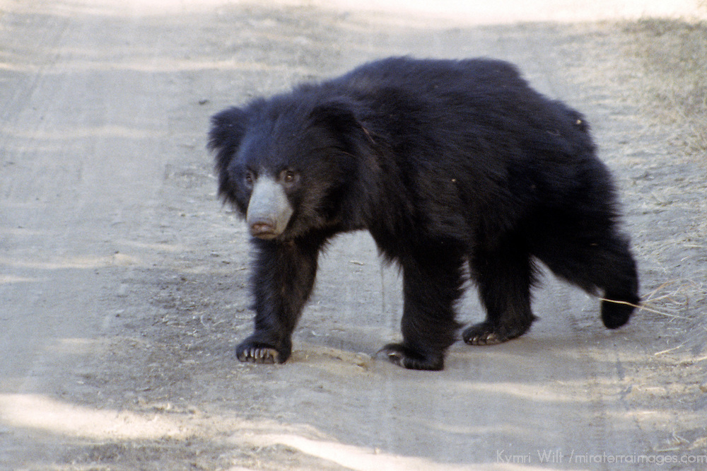 Asia, India, Ranthambore. Sloth Bear at Ranthambore.