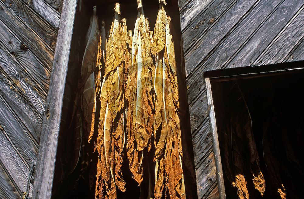 07/07/05 - LIMAGNE - PUY DE DOME - FRANCE - Sechage des feuilles de tabac en LIMAGNE - Photo Jerome CHABANNE