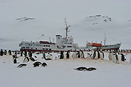 Gentoo Penguin ( Pygoscelis papua )  rookery in a snow blizzard at Yankee Harbour, showing Antarctic Dream vessel anchored on the bay.