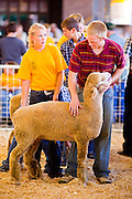 "03 SEPTEMBER 2011 - ST. PAUL, MN: Showing sheep at the Minnesota State Fair, Sept. 3. The Minnesota State Fair is one of the largest state fairs in the United States. It's called ""the Great Minnesota Get Together"" and includes numerous agricultural exhibits, a vast midway with rides and games, horse shows and rodeos. Nearly two million people a year visit the fair, which is located in St. Paul.   PHOTO BY JACK KURTZ"