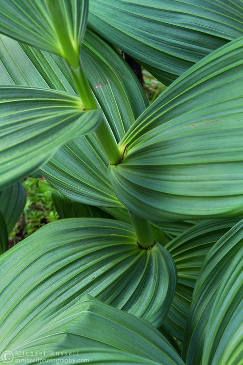 Leaves and stems of a Corn Lily or False Hellebore (Veratrum viride) along the Flower Lake Loop Trail at Mount Seymour Provincial Park in North Vancouver, British Columbia, Canada