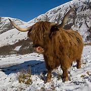 Highland cow in Glen Nevis, Lochaber.