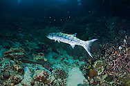 Great Barracuda Sphyraena barracuda, Bali Indonesia
