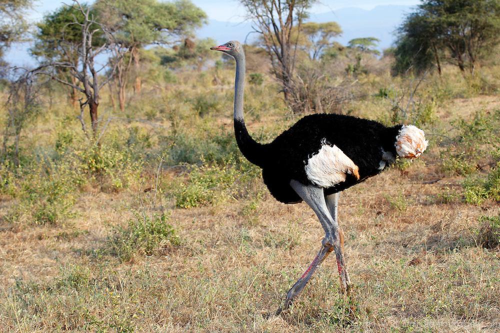 Africa, Kenya, Meru. Male Somali Ostrich in Meru National Park.