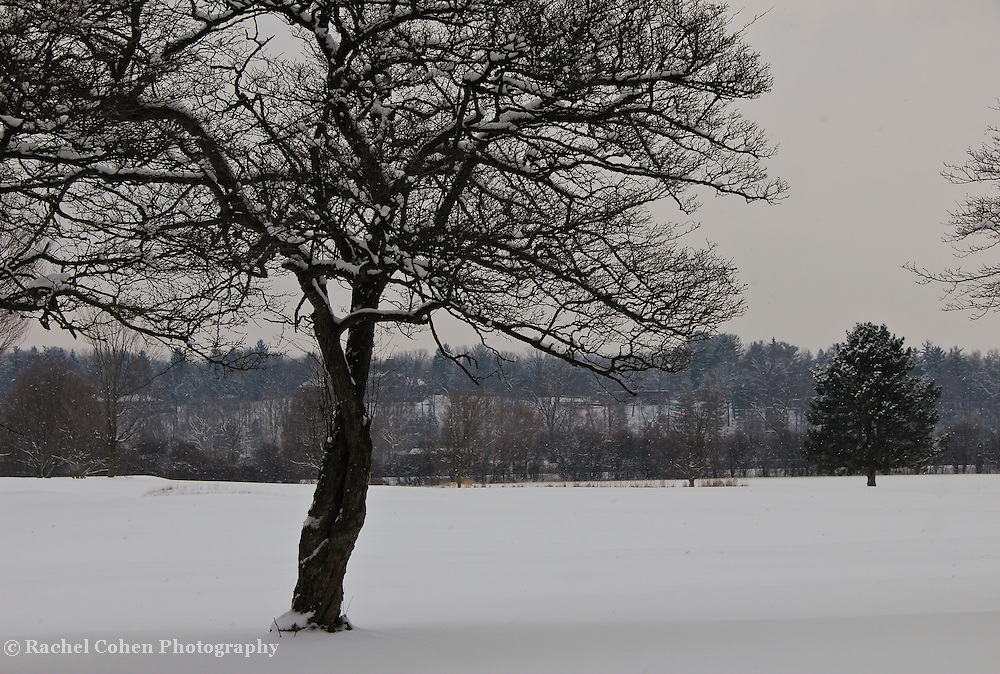 &quot;Love Intertwined&quot;<br /> <br /> The beauty of a lovely tree. Trunks intertwined and beautiful branches covered with snow!!<br /> <br /> Winter in Michigan by Rachel Cohen Winter in Michigan!<br /> <br /> Beautiful winter scenes, winter wonderlands, and lone trees in winter!<br /> <br /> Images in color, B&amp;W, and using selective color.<br /> <br /> If you love winter, snow, trees, rolling hills, and lone trees then you'll find a lovely selection!! <br /> <br /> Winter in Michigan by Rachel Cohen