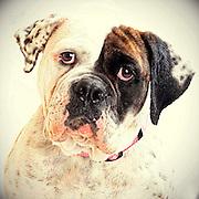 An Old English bulldog with a beautiful face.