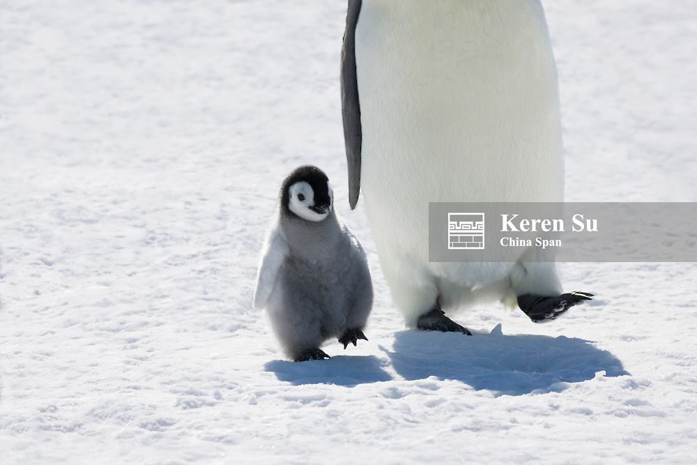 Emperor Penguins parents with chicks on ice, Snow Hill Island, Antarctica