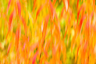 Intentional blur of Common Fireweed leaves (Epilobium angustifolium) in late autumn in Chugach State Park in Eagle River in Southcentral Alaska.  Afternoon.
