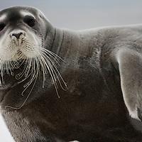 Norway, Svalbard, Spitsbergen Island, Portrait of Bearded Seal (Erignathus barbatus) resting on iceberg along northern coastline