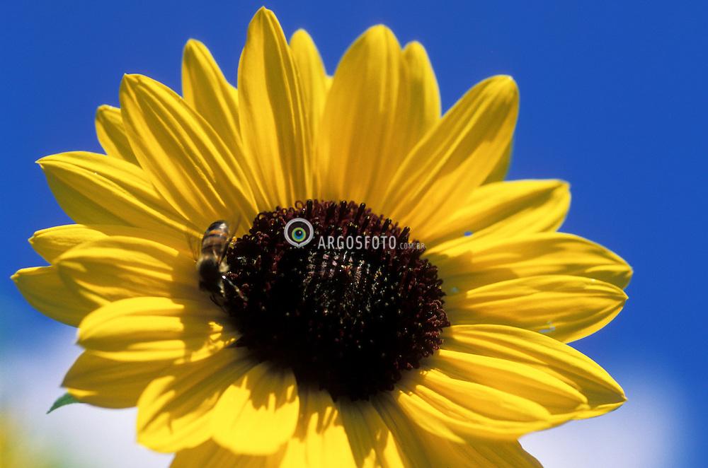 Natureza, flor..Girassol. Abelha no centro da flor./ Sunflower and bee..Foto © Adri Felden/Argosfoto