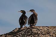 Stictocarbo featherstoni (Pitt Island shag)