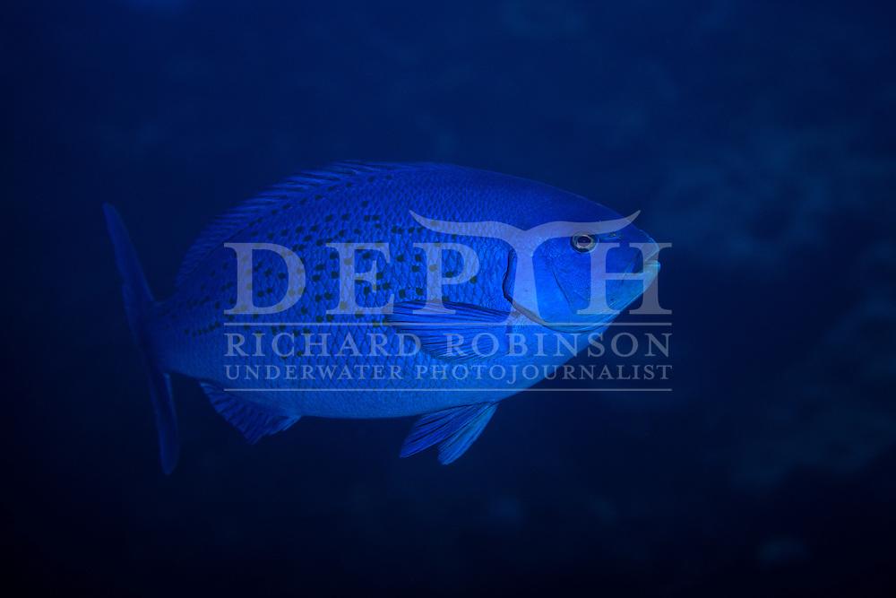 Girella cyanea (Bluefish).<br /> Saturday 03 October 2015.<br /> Photograph Richard Robinson &copy; 2015.<br /> Dive Number: 757.<br /> Site: Denham Bay, Raoul Island, Kermadec Islands, New Zealand.<br /> Dive Buddy: Steve Hathaway.<br /> Boat: Braveheart.<br /> Temperature: 19 degrees .<br /> Maximum Depth: 21.1 meters.<br /> Bottom Time: 60 minutes.<br /> Bottom Time to Date: 42,190 minutes.<br /> Cumulative Time: 42,250 minutes.