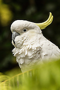 Sulfur-crested Cockatoo, Australia