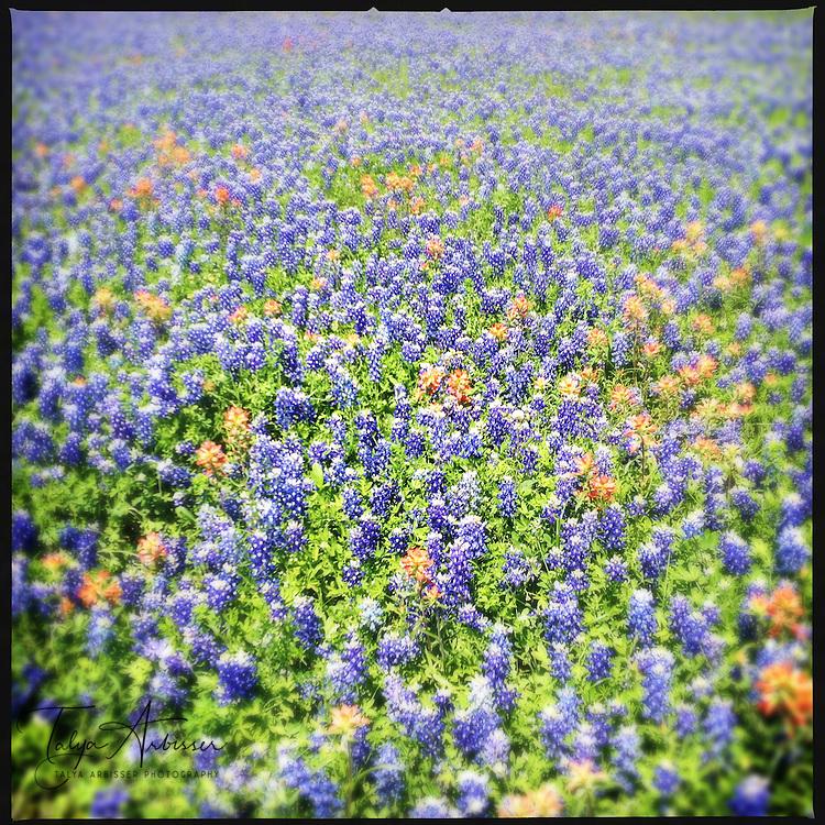 Bluebonnet field - Chappell Hill, Texas