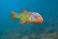 Hornyhead Chub (male with nuptial tubercles<br /> <br /> Isaac Szabo/Engbretson Underwater Photo