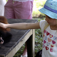 Central America, Latin America, Costa Rica, Golfo Dulce, Cana Blanca Wildlife Sanctuary. Primate encounters -  a young girl gently pets an orphaned Spider Monkey.