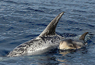 Risso's dolphins, Grampus griseus, surface to breathe ; note scars on older animals, probably from each others' teeth, mother and calf; Azores Islands, Portugal, North Atlantic Ocean&amp;#xD;&copy; KIKE CALVO &amp;#xD;<br />
