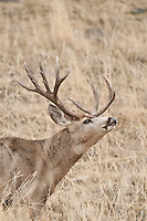 trophy non typical mule deer buck flemming