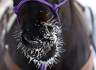 NEWS&GUIDE PHOTO / PRICE CHAMBERS.Todd Wagner's horse Tess develops a frosty snout at the Circle EW Ranch.