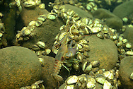 Rusty Crayfish (with Zebra Mussels)<br />