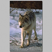 Alaska. Wolf (Canis lupis) Toklat River (East Fork). Female 85-130 lbs 28 inches at shoulder.