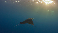 Manta ray cruises along at sunset off Kona, Hawaii