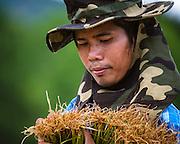 A Thai farmer, Sunthon Saphirat, transplants rice at the start of the Thai growing season in Nakhon Nayok, Thailand Aug 03, 2016. PHOTO BY LEE CRAKER