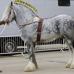 Shire Horse Society Spring Show 2010<br /> Mr P Simmons  Deighton Silver Treasure  f 2004  s Rue Moss Cavalier   d Hartcliff Spice Girl   Bred by R Bedford   Liversedge, West Yorkshire